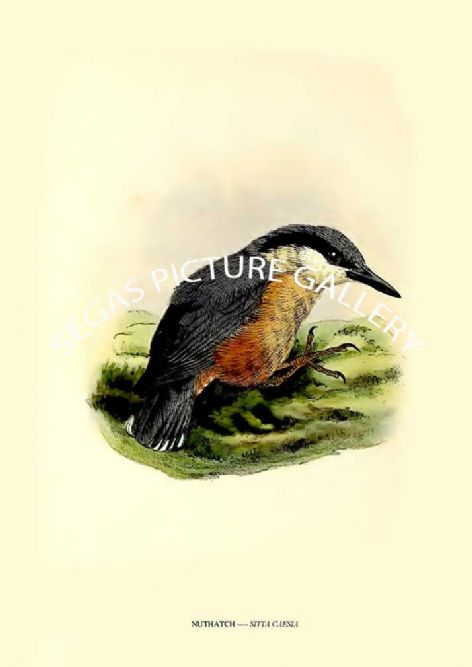 Fine art print of the NUTHATCH ---- SITTA CAESIA by J G Keulemans (1869-76)